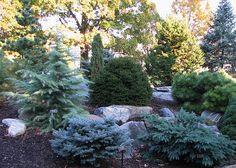 Dwarf Conifers   Flickr - Photo Sharing!