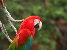 Arara Vermelha Grande - (Red-and-green Macaw) - Buraco das Araras -Jardim - Mato Grosso do Sul - Brazil