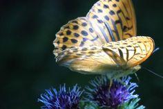 Kaisermantel 1 Schmetterling
