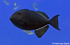 black triggerfish - Hawaii. saw lots of these in Molokini Crater