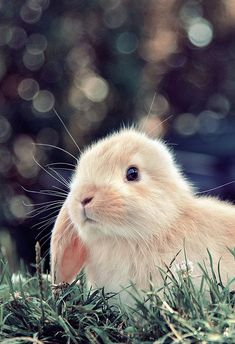 French Lop Bunny