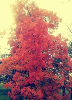 """""""My fire tree"""" as i like to call it :) One of the many gorgeous maples on the farm this year - right out my sunroom window! Red at the base fading to orange in the middle and yellow on top! I love our Southwest Missouri tree colors <3"""