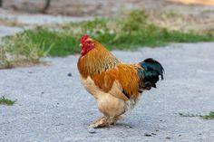 banty chichens | Buff Brahma bantam rooster | GreenFuse Photos: Garden, farm & food ...
