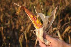 Relatório Anual | Greenpeace 12 | [global] Campanhas 2012 Conquistas globais | Greenpeace www.greenpeace.org 800 × 531Pesquisa por Imagem risco cientificamente comprovada de alimentos GM