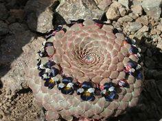 Viola atropurpurea Glass Pavilion, Cactus Flower, Cacti And Succulents, House Plants, Photo Wall, Beauty, Conservatory, Lust, Garden Ideas