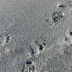 Walking after trouble. #alaskaexpeditions @wenk19 #hunting #whywehunt #bear #tracks #tracking #footprints #alaska #brownbears #ronspomeroutdoors