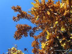 Diminishing daylight hours and dropping temperatures influence trees to prepare for winter. These color changes are the result of transformations in leaf pigments. The brightest autumn colors are produced when dry, sunny days are followed by cool, dry nights.