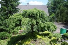 Tsuga canadensis Pendula:  Weeping Hemlock A most graceful dense mounding shrub with broadly spreading branches that create an exciting weeping habit. A bold accent for rock gardens or lawn areas.
