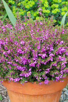 Tetratheca Fairy Bells Potted Flowers, Flower Pots, Container Plants, Container Gardening, Winter Flowers, Fairy, Beautiful, Balcony, Flower Vases