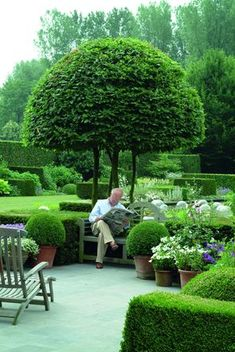 Potted boxwoods echo the shape of the tree. Boxwoods in containers, man in container (bench).