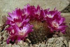 Sulcorebutia callichroma var. longispina HS 78a