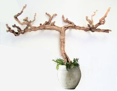 """Extra large 64"""" Large driftwood sculpture, natural tree,for wall shelf or a pot,Could be used as: Wall art natural sculpture for a large wall space. Air plants display Could be used for hanging: Keys,hats,bags,Coats,Bathrobe,Towels and more... Adored with your favorite flowers Hanging plants Could be displayed outdoors or indoors Also could be displayed standing on a floor in a pot. It has extremely strong wood, and withstand heavy weight."""