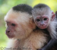 Monkeys on Roatan Island, #Honduras
