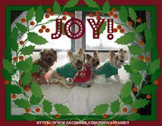 Dog Meme, Christmas, Yorkies, https://www.facebook.com/FenwayFamily