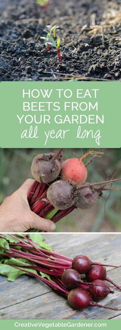 Never buy beets from the grocery store again! How to easily store your own garden beets for eating all winter long.