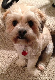 Shih-Poo -- looks like a Theo relative Baby Animals, Cute Animals, Shih Poo, Dog Haircuts, Poodle Mix, Cuddles, Sadie, Dog Life, Puppy Love