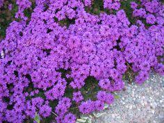 Flores de inverno - Verbena.