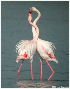 See a photo of flamingos in Kenya, from National Geographic. Flamingo Bird, Pink Flamingos, Beautiful Creatures, Animals Beautiful, Beautiful Things, Greater Flamingo, Colorful Birds, Hawaii Travel, Great Pictures