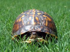 pictures of box turtles in nc | Eastern Box Turtle