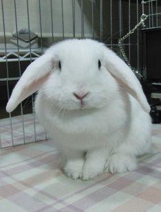 Holland Lop Blue Eyed White Rabbit usa