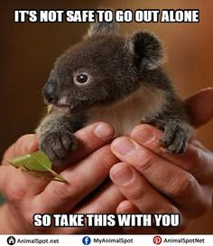 By gum, Archer the orphaned koala has to grow up, with help from Featherdale Wildlife Park staff Cute Baby Animals, Animals And Pets, Funny Animals, Wild Animals, Cute Koala Bear, Funny Koala, Animals Planet, Amazing Animals, Animals Beautiful
