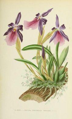 1880 - Les orchidées