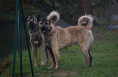 Turkhiş dog kangal