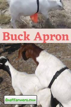 Keep your bucks and does together without unwanted breeding. Use (or make your own) goat anti-mating apron. Avoids urine scald and early weaning. Garden Animals, Farm Animals, Goat Feed, Breeding Goats, Miniature Goats, Goat Ideas, Goat House, Raising Goats, Future Jobs