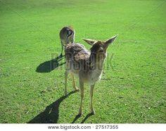 Photo : Deer My Photos, Stock Photos, Deer Park, Illustration, Animals, Image, Animales, Animaux, Animal