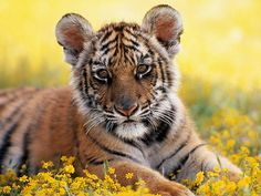"""Tiger Cub: """"Hello everyone, my name is 'Toby' and I LOVE the color: Yellow!"""""""