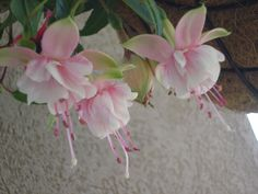 Pink Fuschia flowers cascading from a hanging pot.