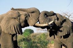 The Kapama reserve is a mix of mainly savannah and riverine areas which yield great herds of buffalo, elephant and antelope, an abundance of predators and home to the Big 5.  Read more about this magical world: http://www.eafricasafaritours.com/featured-properties/greater-kruger-national-park/kapama-game-reserve/