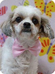 Overland Park, KS - Shih Tzu/Havanese Mix. Meet Blossom, a dog for adoption. http://www.adoptapet.com/pet/17910382-overland-park-kansas-shih-tzu-mix