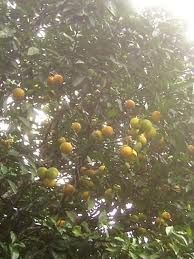 árboles de grana