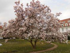 Magnolienbaum, Magnolia, Magnolia in Mainz (Uni Klinik Gelände)