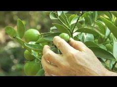 ▶ Progress of a Newly Installed Meyer Lemon - Prune Like a Pro - YouTube
