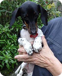 Black And White Piebald Dachshund : black, white, piebald, dachshund, Scooties, Ideas, Dachshund,, Dachshund, Love,, Weiner
