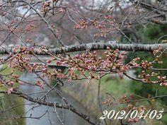 京都 哲学の道 桜 2012/04/03