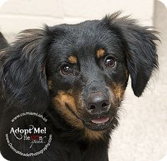 URGENT!  I am at a kill shelter in Troy, OH - Spaniel (Unknown Type) Mix. Meet Cosmo, a puppy for adoption. http://www.adoptapet.com/pet/10679733-troy-ohio-spaniel-unknown-type-mix