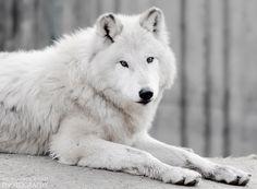 """500px / Photo """"Lobo del ártico."""" by Luis de la Fuente Sánchez"""