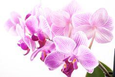 Esta semana escolhemos falar sobre um tipo de orquídea que adoramos usar em nossas mesas: a [...]