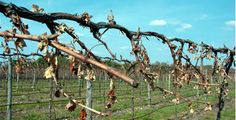 Midwest Grape Growers Fear Late Spring Frost- Concerned of repeat to 2007 'Easter Freeze'. From the few months we've had so far, it seems 2012 is not the greatest year for grape growing... http://www.snooth.com/articles/midwest-grape-growers-fear-late-spring-frost/