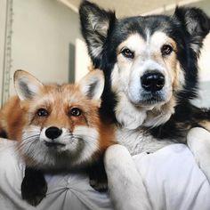 Energetic Pet Fox Finds an Unlikely Best Friend in a Gentle Canine - My Modern Met