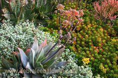 Aloe in bloom, lampranthus deltoides and Sedum rubrotinctum 'Pork and Beans'. Photo and design by Debra Lee Baldwin