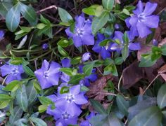 Periwinkle Vinca Vine( Creeping Myrtle),  Perennial Ground Cover Plants | eBay