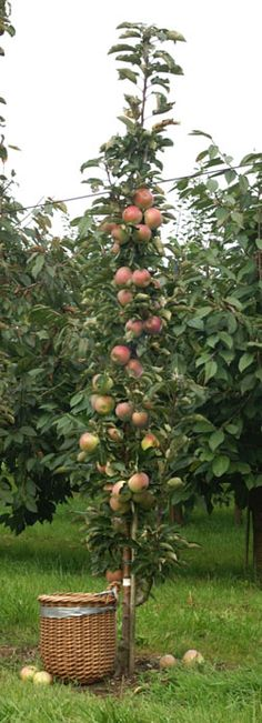 Might need one of these! Columnar apple tree