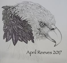 Current work for art gallery showing. Bald Eagle, pen and ink line drawing. Life size bird.  April Reeves Fine Art