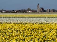 The village of De Zilk is surrounded with yellow daffodils everywhere (april 2013).The Netherlands. #holland #dutchlandscapes