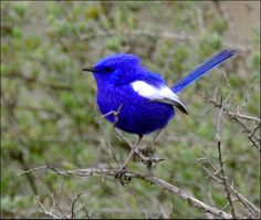 White-winged+Fairy+Wren | DSC_8174 White Winged Fairy Wren - Port Augusta | Flickr - Photo ...