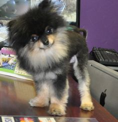 My Itty Bitty Pomeranian 'Bitty'.. full grown at 4 pounds. Click his picture to find him on facebook!